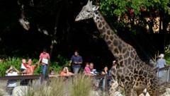 Nur der Zoo von Los Angeles darf Veranstaltungen mit seinen Tieren durchführen. (Bild: Agence-France-Presse)