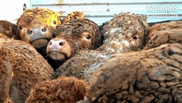 Zusammengepfercht, hungrig, auf dem Weg in den Tod - Blicke, die einem das Herz zerreißen (Bild: Animals International )