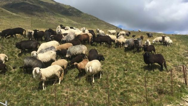 Landwirte sorgen sich um ihre Nutztiere auf den Almen . (Bild: Agridea)