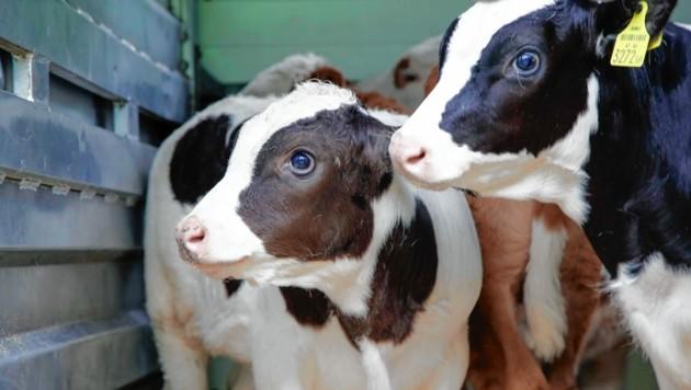 Stoppt diese sinnlosen Tiertransporte! (Bild: Markus Tschepp)
