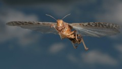 Wanderheuschrecke im Flug (Bild: ©Holger - stock.adobe.com)