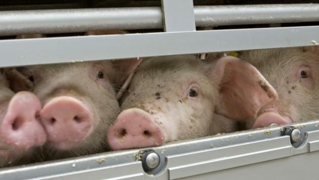 """""""Was tun wir den Tieren an, wo bleibt Menschlichkeit? """" - Das fragen uns viele Leser, die dieses Leid nicht mehr haben wollen. (Bild: stock.adobe.com)"""