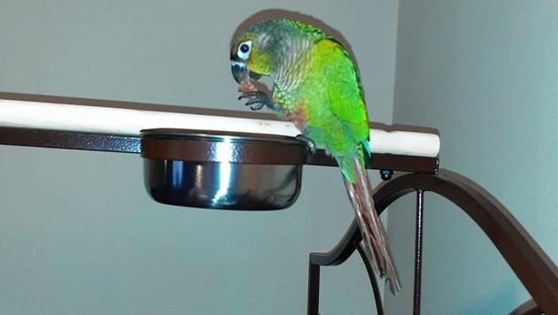 """Papagei """"Louie"""" rettete die Familie mit seinen """"Feuer""""-Rufen. (Bild: SWNS)"""