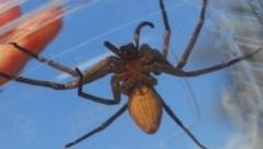 Diese Spinne wurde in einer Bananenschachtel in einem Supermarkt in Klagenfurt gefunden. (Bild: Helga Happ)