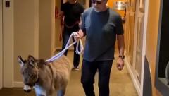 "Arnold Schwarzenegger spazierte jetzt mit Esel ""Lulu"" ins Büro. (Bild: instagram.com/schwarzenegger)"