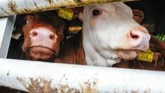 """Ein Leben voller Qualen: """"Krone""""-Leser wollen nicht länger wegschauen und fordern ein Ende der grausamen Tiertransporte quer durch Europa bis nach Afrika und Asien. (Bild: Markus Tschepp)"""