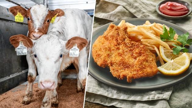 """Kaum ein """"Wiener"""" stammt von Tieren aus Österreich! Rund 80 Prozent des Kalbfleisches in der Gastronomie werden billig aus den Niederlanden importiert. (Bild: Markus Tschepp, stock.adobe.com, krone.at-Grafik)"""