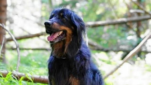 """Der frühere Rettungshund """"Aiko"""" wird verzweifelt gesucht. Bitte um Meldungen, falls ihn jemand sieht! (Bild: zVg)"""