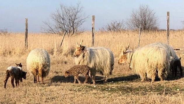Mit der Geburt des Lämmchens wurde die Herde der seltenen Zackelschafe erweitert (Bild: Christian Schulter)