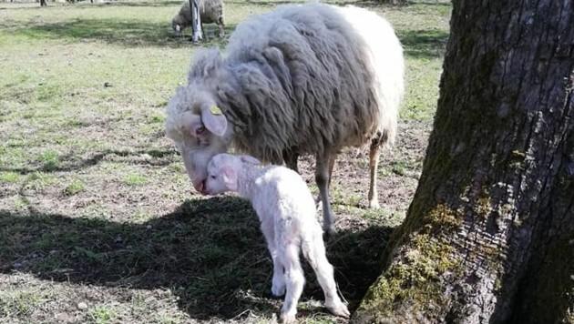 Das verstörte Mutterschaf mit ihrem einzigen Lämmchen ... (Bild: Sabine Jäger)
