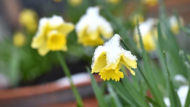 """Das """"Märzenkaibal"""" bockte noch mit Schnee. Doch täglich kehrt der Frühling mehr und mehr zurück. (Bild: Wolfgang Spitzbart)"""