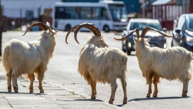 Wilde Kaschmirziegen bevölkern die Straßen von Llandudno, im Norden von Wales (Bild: AP)