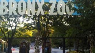 Im Bronx Zoo wurde ein Tiger positiv auf das Coronavirus getestet, weitere Tiere sind krank. (Bild: AP)