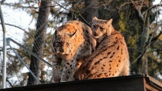 Weils mit der Romantik nicht so klappt, fehlt es an Luchs-Nachwuchs (Bild: Tierpark Rosegg)