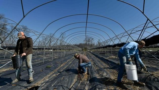 Ohne Farmarbeiter aus dem Ausland kommen die USA offenbar nicht aus. (Bild: AP)