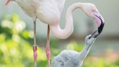 Der Tiergarten Schönbrunn freut sich über Nachwuchs bei den Rosa Flamingos. Erst im Alter von drei Jahren verfärben sie sich allerdings rosa. (Bild: APA/DANIEL ZUPANC)