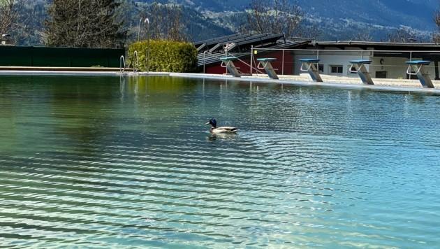 Im Zirler Schwimmbad nutzt eine Ente die gähnende Leere. Sie ist der einzige Badegast. (Bild: LIEBL Daniel   zeitungsfoto.at)
