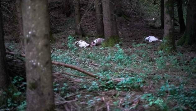 Die toten Ziegen lagen mit aufgeschnittenem Hals im Waldstück der Familie S. (Bild: Pressefoto Scharinger © Scharinger)