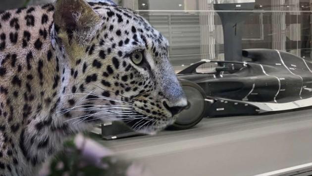 (Bild: AFP, facebook.com/Pantherateamasiaf1, krone.at-Grafik)