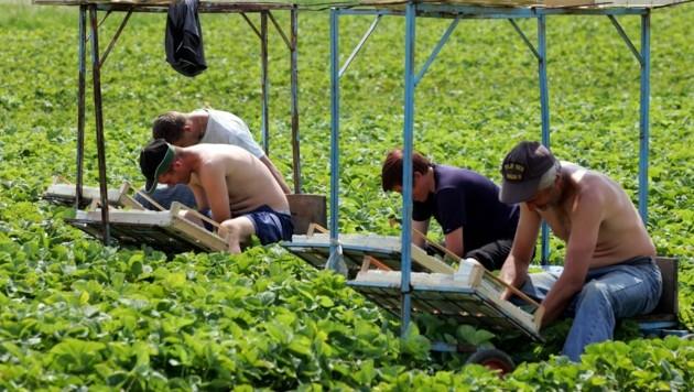 Erntehelfer pflücken Erdbeeren. (Bild: dpa/dpaweb)