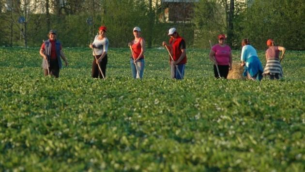 Foto aus dem Vorjahr: Erntehelfer beim Unkrautjäten im Feld. (Bild: Hamedinger)
