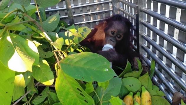 Für sein zartes Alter musste dieser kleine Orang-Utan schon viel durchmachen. (Bild: Jejak Pulang/Vier Pfoten)