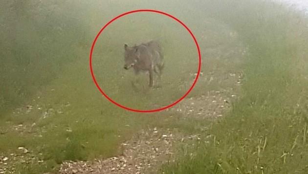 Ein Wolf geht im Zillertal um. (Bild: ZOOM.TIROL)