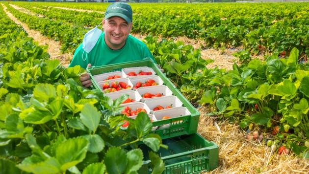 Christoph Fälbl mit seiner ersten Lage Erdbeeren (Bild: Moni FELLNER)
