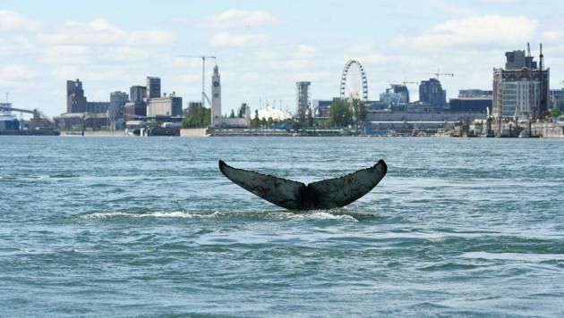 Ein Wal verirrte sich in die Gewässer vor der kanadischen Stadt Montreal, Hunderte Kilometer von seinem Lebensraum entfernt. (Bild: AFP)