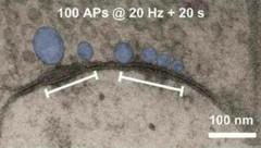 Der Pool der Vesikel (blau) an der Synapse könnte eine physische Spur des Gedächtnisses sein, (Bild: Jonas Group/IST Austria)