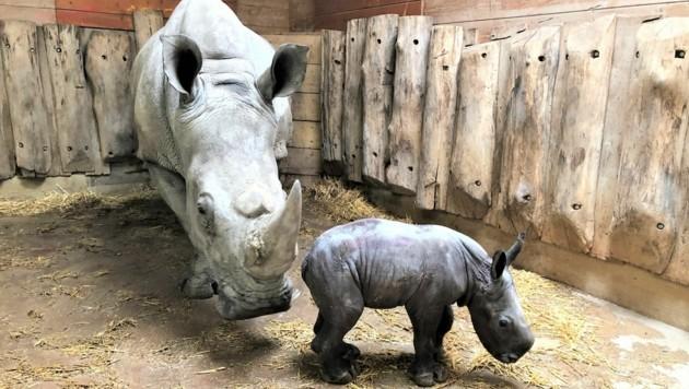 Nashornkuh Tamu und ihr Baby (Bild: Zoo Salzburg)