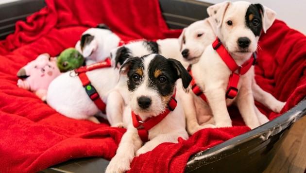 Die fünf Jack Russel Terrier-Welpen (Bild: Gut Aiderbichl)