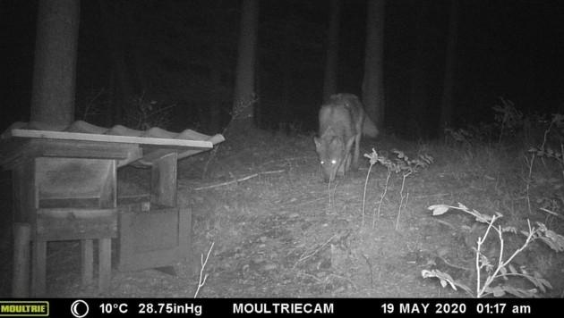 Dieser Wolf wurde heuer am 19. Mai durch die Wildkamera von Jäger Rudolf Stadlmayr in Rüstorf fotografiert