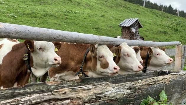 """Auf der """"Vorderaschbachalm"""" in Auffach haben sich die Kühe schon wieder eingelebt. (Bild: Anna-Lena Unterrainer)"""