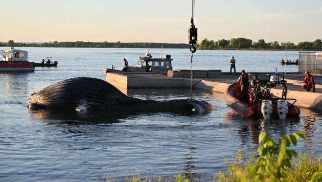 Der Walkadaver wurde von einem Steuermann gesichtet und anschließend aus dem Wasser geborgen. (Bild: AFP)