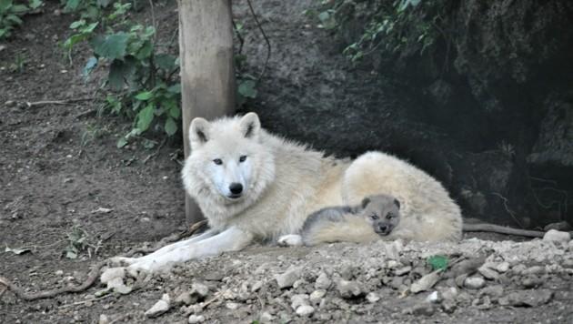 Mutter Anastasia mit ihrem Welpen (Bild: Zoo Salzburg)
