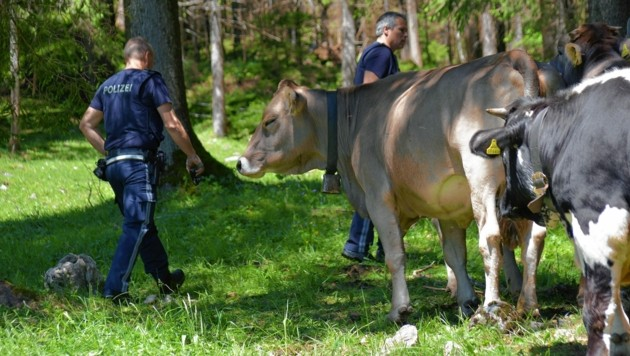 Die angegriffenen Urlauber wurden zum Teil ins Spital geflogen. Polizisten nähern sich dennoch furchtlos den Tiroler Almkühen. (Bild: zoom.tirol)