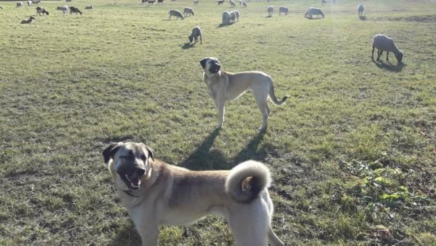 Die Herdenschutzhunde Dijay und Sum werden schon in der Herde geboren und verteidigen diese bis auf´s Blut. (Bild: Daum Hubert)