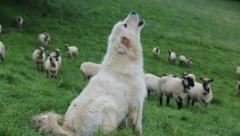 In Salzburg haben aktuell nur zwei Bauern Herdenschutzhunde im Einsatz. (Bild: Land OÖ Stockinger)