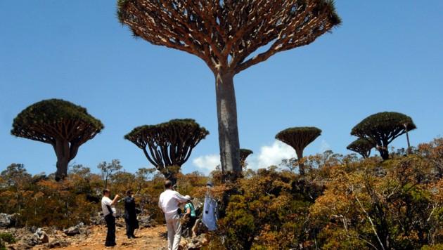 "Socotra ist die Heimat der berühmten Drachenbaumart ""Dracaena cinnabari"". Seit 2008 ist die Insel UNESCO-Weltnaturerbe. (Bild: AFP)"