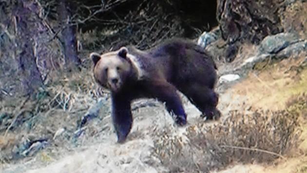 Dieser Braunbär wurde in Sachsenburg gesichtet. (Bild: Krone)