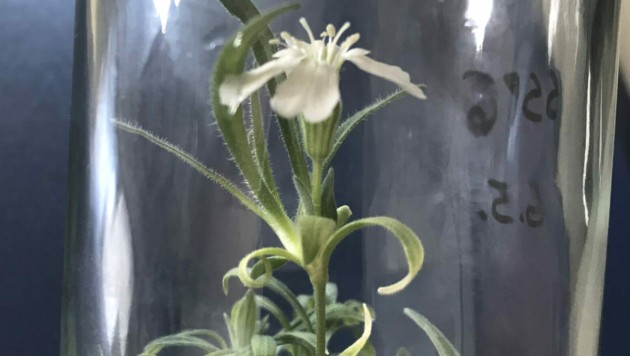 Das Nelkengewächs wurde in vitro aufgezogen. (Bild: APA/BOKU/JAKOB VEGH)