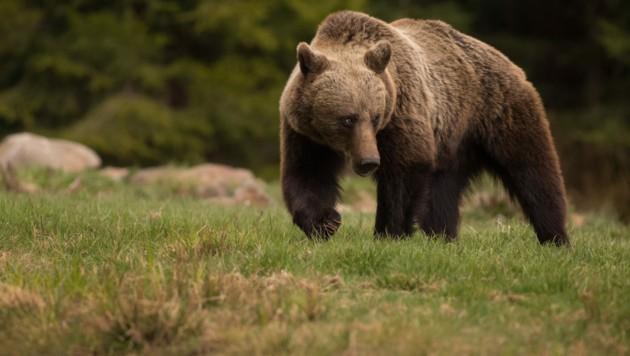 Ob der Täter ein Bär war, soll eine genetische Analyse der Spuren feststellen. (Bild: stock.adobe.com)