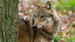 Der Abschuss des Wolfs sorgt seit Jahren für Diskussionen. (Symbolbild) (Bild: Ralph Frank)