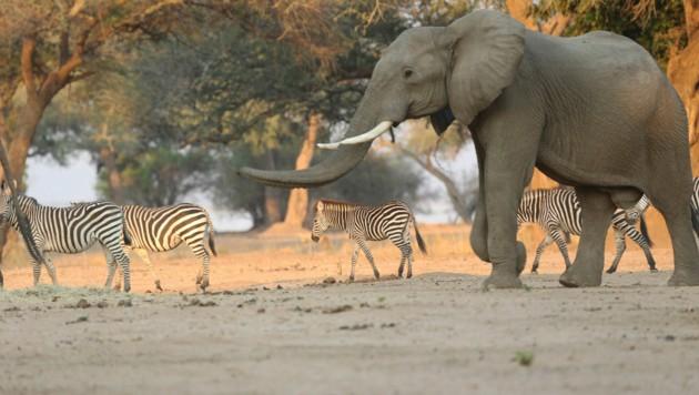 Ein Elefant im Mana Pools National Park (Bild: AP)