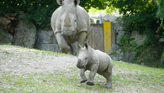 Das Nashornbaby kam 3. Juni zur Welt. Nun erhielt es seinen Namen. (Bild: APA/ZOO SALZBURG)