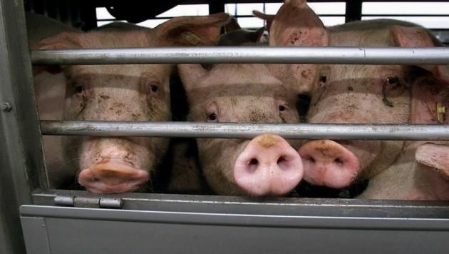 Das Tierschutzvolksbegehren will ein Ende der Tiertransporte erreichen. (Bild: APA/dpa/dpaweb/Franz-Peter Tschauner)
