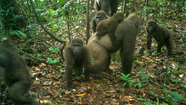 (Bild: WCS Nigeria via AP)
