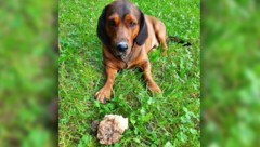 """Hund """"Jago"""" vor der Beute, eine 250 g schwere Trüffel (Bild: Tobias Schneider/best4jagd.com, krone.at-Grafik)"""