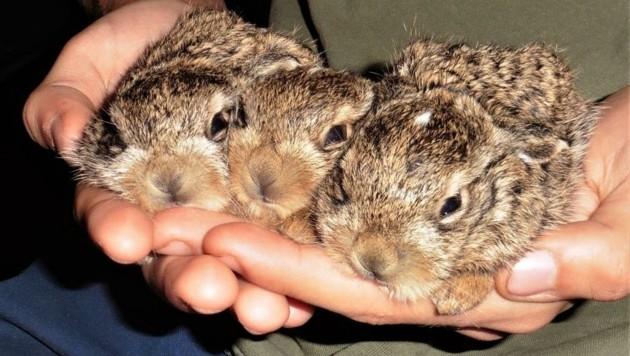 Das putzige Hasen-Trio wird großgezogen (Bild: Vier Pfoten)